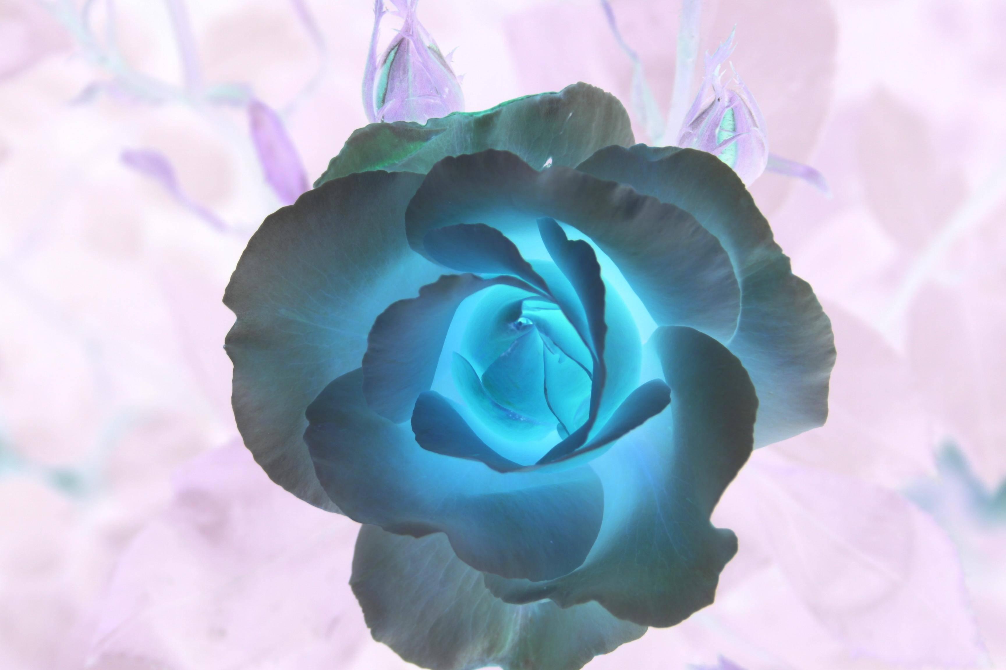 rose rose 02
