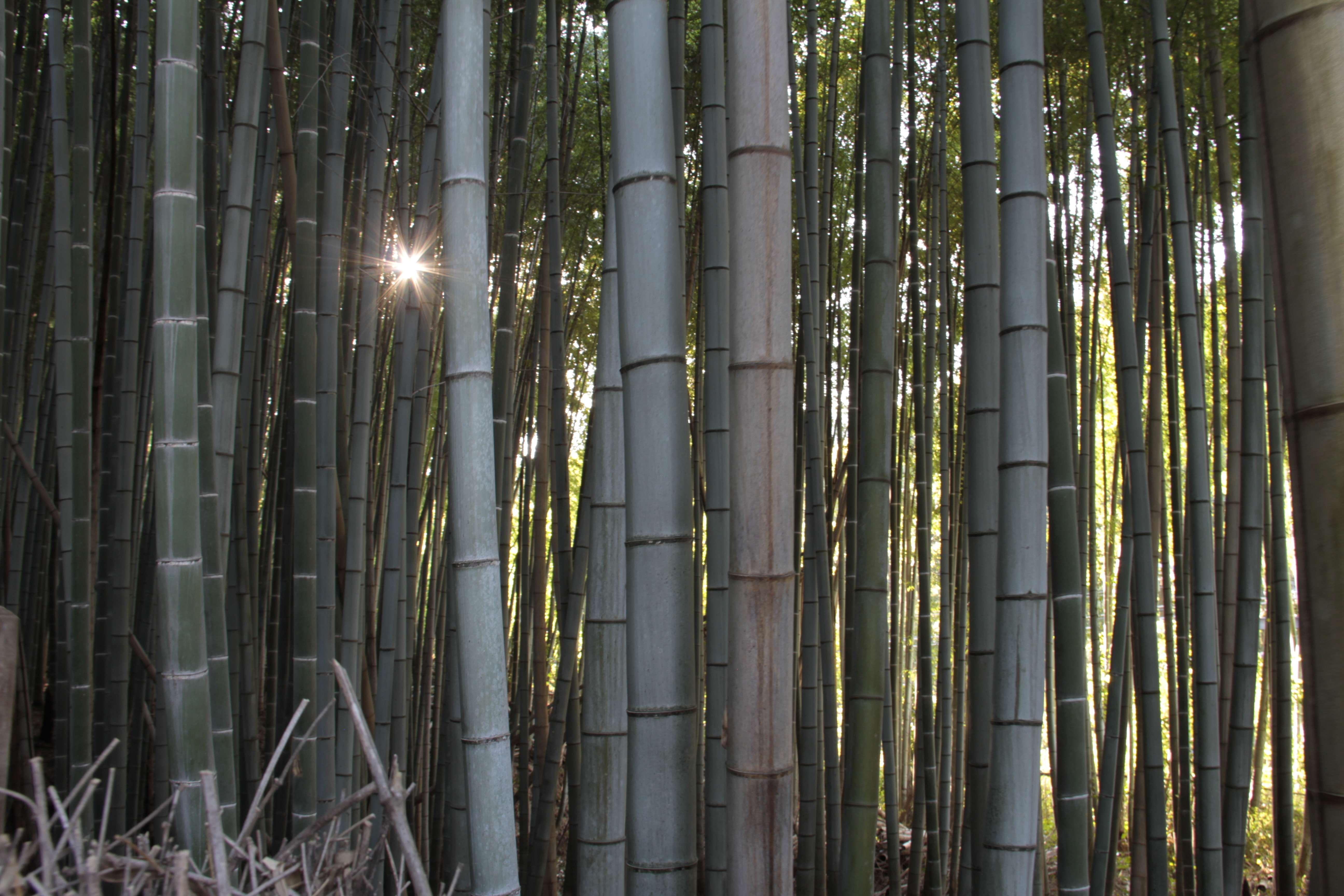 Japon avril 2017_0878 Kyoto bambouseraie d Arashiyama