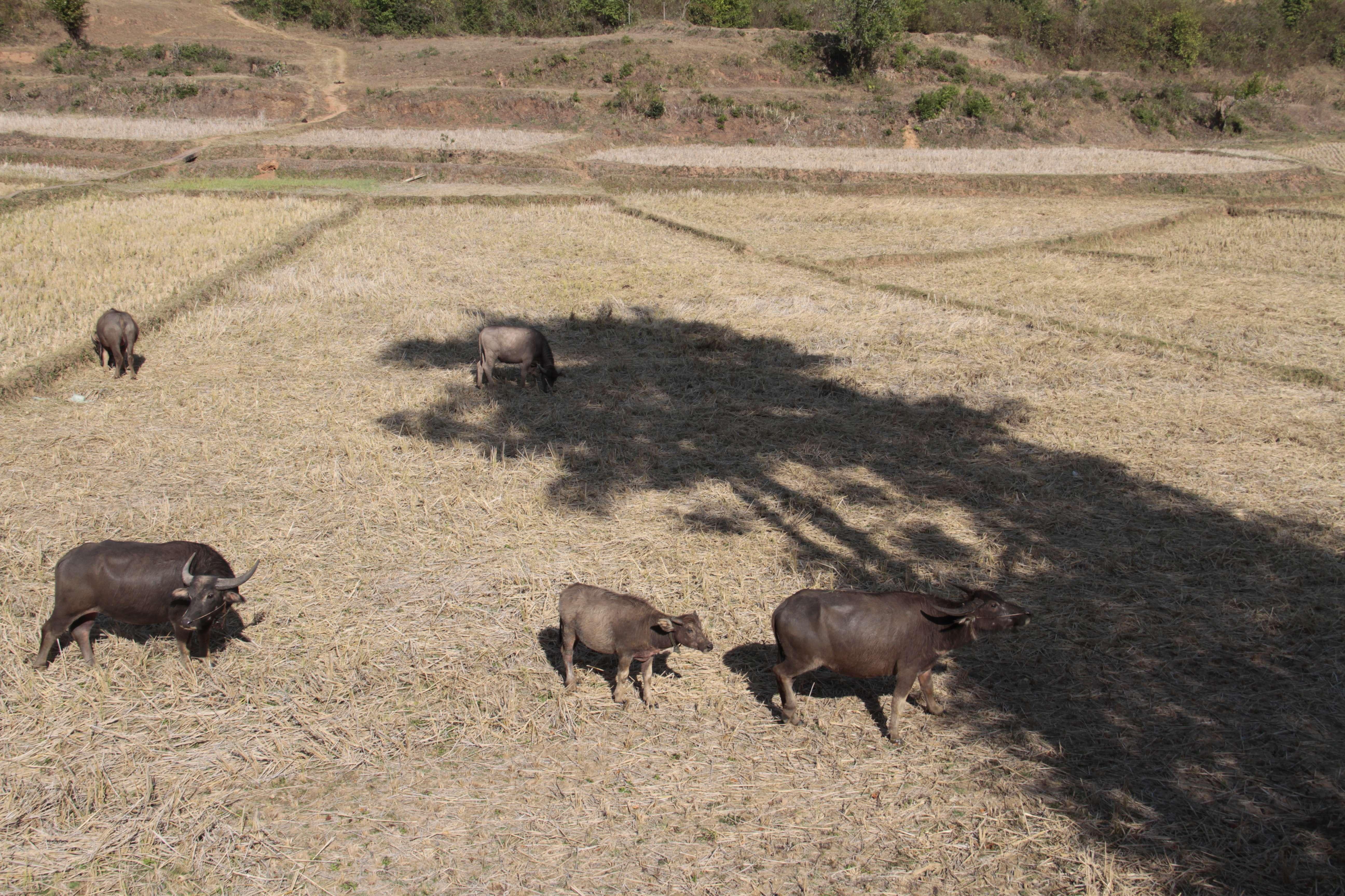 Myanmar fevrier 2019_0631 Trek Kalau Inle jour 1