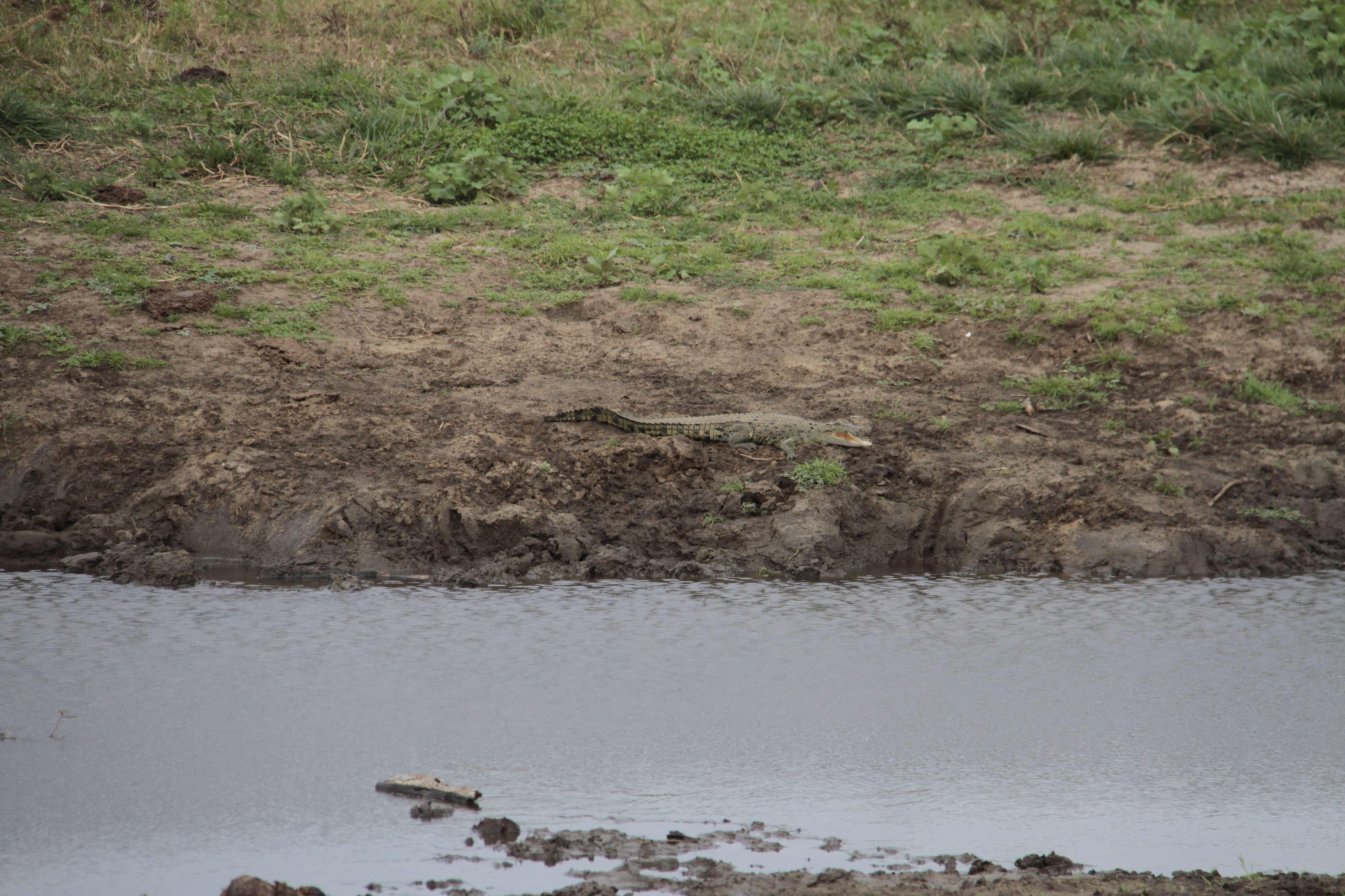 Sri Lanka aout 2017_0514 Uda Walawe crocodile