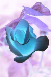 rose rose 04
